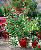 Salvia rutilans, Salvia officinalis 'Creme de la Creme'