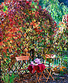 Arbor with Parthenocissus quinquefolia 'Engelmannii', wooden bench