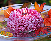 Chrysanthemum (autumn chrysanthemum) purple, large flowered
