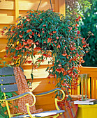 Begonia Illumination 'Orange', flower basket on orange balcony