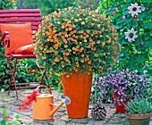 Calibrachoa Millionbells 'Golden Terracotta', Scaevola