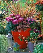 Chrysanthemum, Phormium 'Maori'