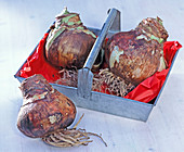 Hippeastrum (Amaryllis) Onions in metal tray with handle