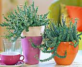 Crassula rupestris (thick leaf) in orange and purple pots