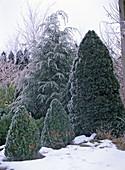 Winter garden landscape with Picea glauca 'Conica'