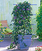 Plant passionflower in blue tubs