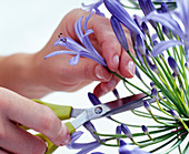 Arrangement of Agapanthus,