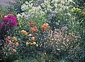 Flowerbed of perennials and rose, pink 'Tequila' (bed rose), Gaura