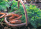 Daucus carota (carrot) freshly harvested