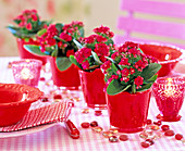 Kalanchoe Calandiva 'Red' in red glass pots