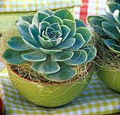 Echeveria 'Blue' (Echeveria) in green shell, yellow sisal