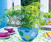 Asparagus plumosus, in dotted bowl, blue ornamental gravel