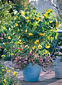 Abutilon, Scaevola (fan flower) in blue tub