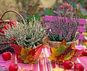 Calluna vulgaris 'Annette', 'Aphrodite', Malus