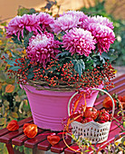 Chrysanthemum (large-flowered purple autumn chrysanthemum) in pink pot