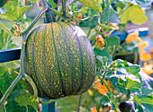 Cucurbita (pumpkin), immature fruit on the trellis