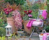 Chrysanthemum (Chrysanthemen), Calluna Garden Girls (knospenblühende Heide)