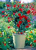 Mandevilla 'Sundaville Red' in a light green pot, Tropaeolum