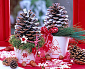 Pinus pinea, cones with artificial snow sprayed on white pots