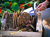 Hibernate gladiolus bulbs