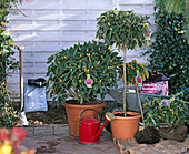 Rhododendron (alpine rose), container and bale goods