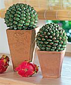 Pandanus utilis (screw tree), fruit on terracotta pots