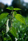 Urtica dioica (stinging nettle) with seeds