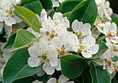 Pyrus (pear), flowers and leaves