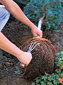 Plant cypress