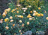 Plant yellow rosary