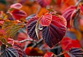Foliage of witch hazel (witch hazel), red autumn color