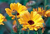 Yellow flowers of Calendula officinalis (Marigold)