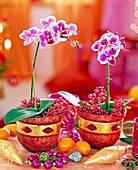Phalaenopsis 'Petit Avenir' (Malay flower), in red pots