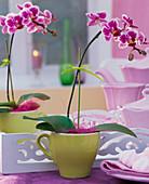 Phalaenopsis 'Petit Avenir', in green espresso cup
