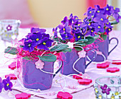 Saintpaulia hybrids (African Violets), blue, in purple cups
