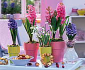 Hyacinthus (hyacinth) in ceramic pots