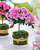 Rhododendron simsii (fatsi), trunks