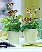 Primula polyantha 'Gold Laced' (primrose)