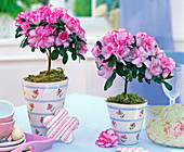 Rhododendron simsii (room azalea), miniature stems