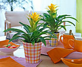 Guzmania (Yellow Guzmania) in checkered pots