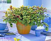 Plectranthus ciliatus (Swedish begonia, frankincense)
