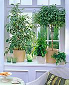Ficus benjamina 'Starlight', 'Bushy Prince', 'Reginald'