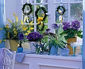 Blue-yellow window primula 'Touch Me', Primula acaulis