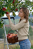 Woman on a ladder picking malus (apple)