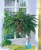 Davallia (hare foot fern) at the window