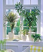North window, Dracaena marginata 'Tricolor', Dracaena reflexa