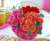 Primula acaulis (spring primrose) in metal basket