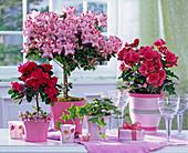 Rhododendron simsii (room azalea), Begonia elatior