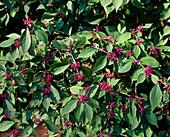 Callicarpa bodinieri (love pearl bush)