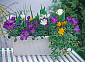 Plant white metal box with viola, ivy and spring onions